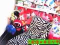 【男の娘】まなみのエッチ動画【犯されチェックサンタのエロメリクリ★Tバックに生履き替え♪】